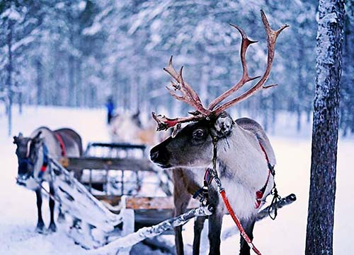 Reindeer ready to go in Rovaniemi Photo: Norman Tsui